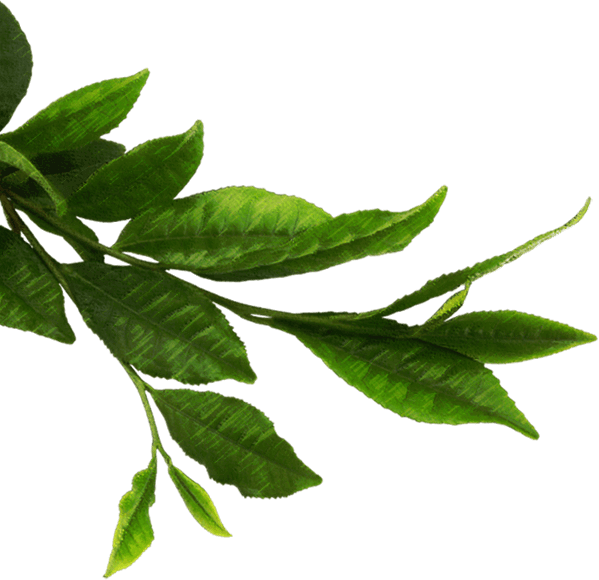 Pictures of Dried Tea Leaves Png - #rock-cafe